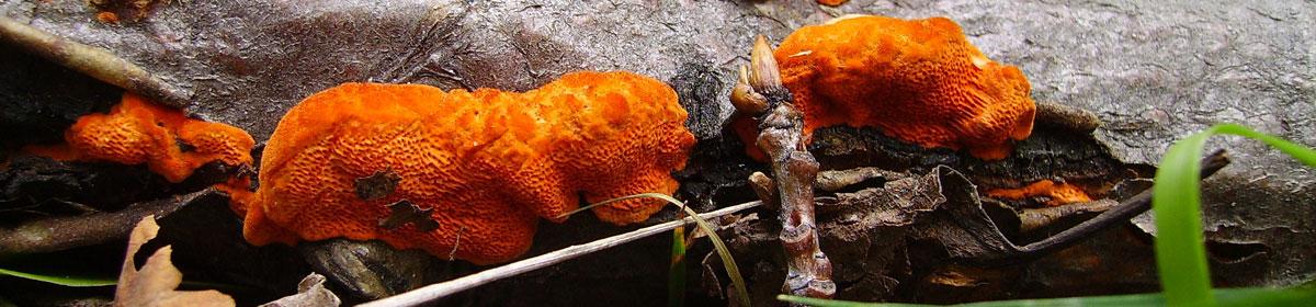 Mycologues Amateurs de l'Abitibi-Témiscamingue